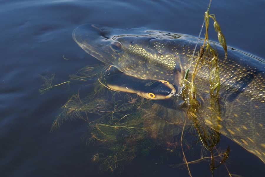 Ловля щуки на спиннинг Рыбалка на реке в пуще (09102018 г) #69