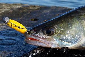 Рыбалка в августе мертвую рыбку на